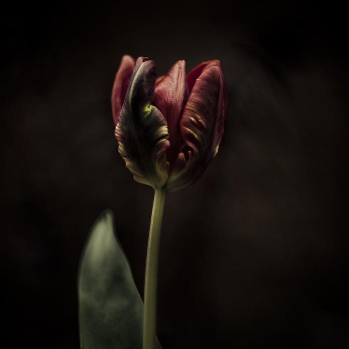 bonheur-tulipe011